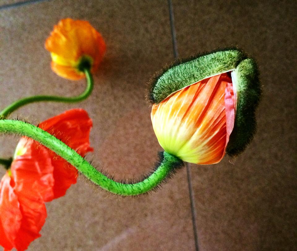 ポピー 開花の様子
